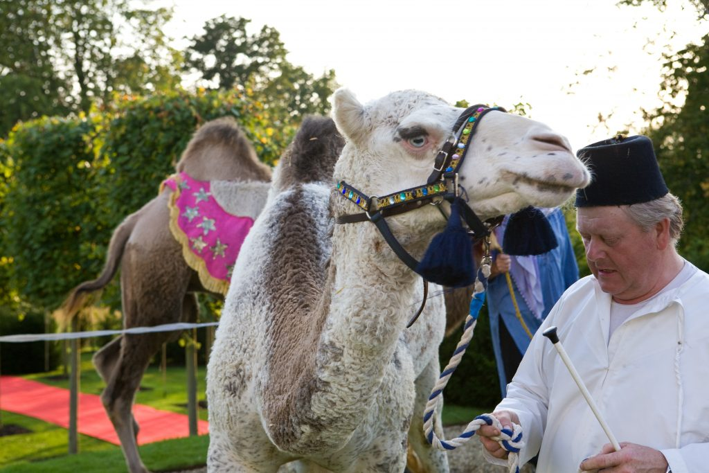 camel at moroccan party marquee